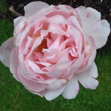 cropped-a-brother-cadfael-rose